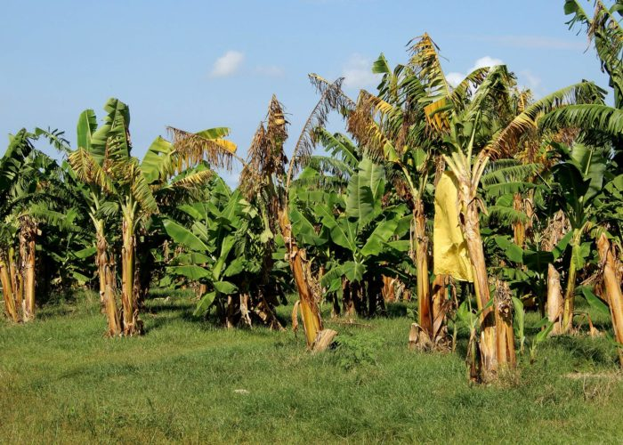 Nigeria's agric minister inspects first organic banana plantation for export