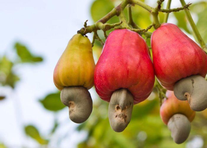 NCAN boss tasks FG, businessmen on potential of cashew